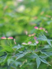 庭に咲く紅葉の春の花