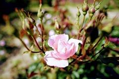 つぼみの花の中に咲く一輪のピンクの薔薇