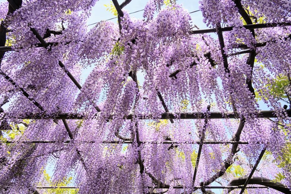 竹鼻別院の藤の木