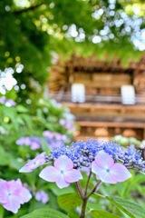 紫陽花寺三光寺山門の紫陽花