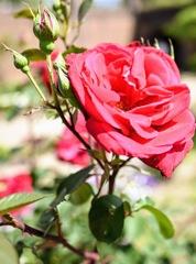 五月晴れに輝く薔薇の花