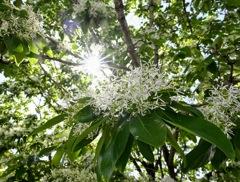 春の陽射しに咲く栗の花