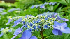 ガク紫陽花の本当の花はどれ?
