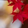 1枚の紅葉