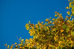 青空と銀杏並木