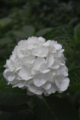 紫陽花ー純白