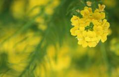 菜の花ハート♡