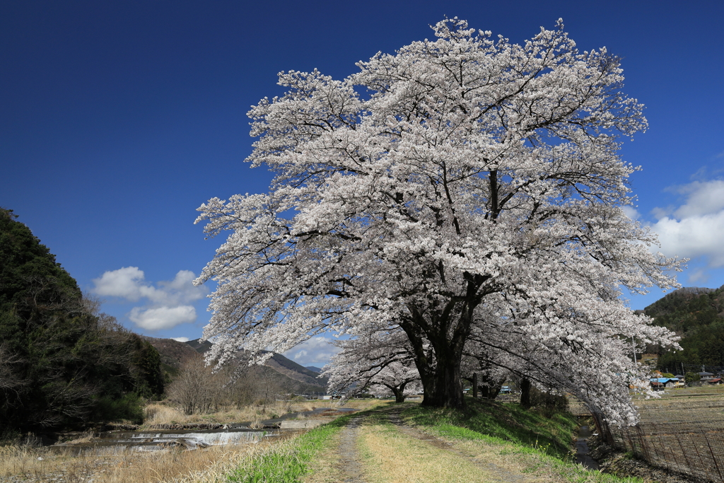 佐柄見の桜