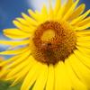 向日葵と蜂③