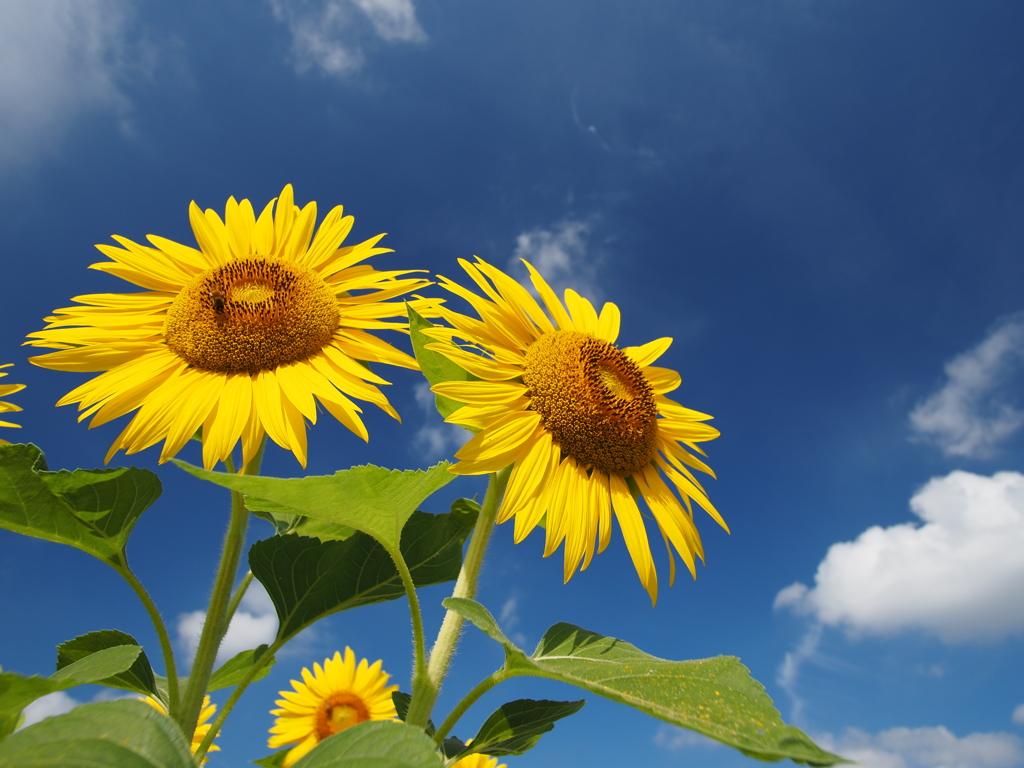 向日葵、夏空に咲く