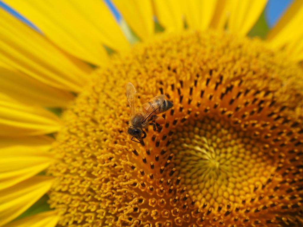 向日葵に蜂①