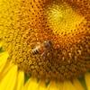 向日葵に蜂②