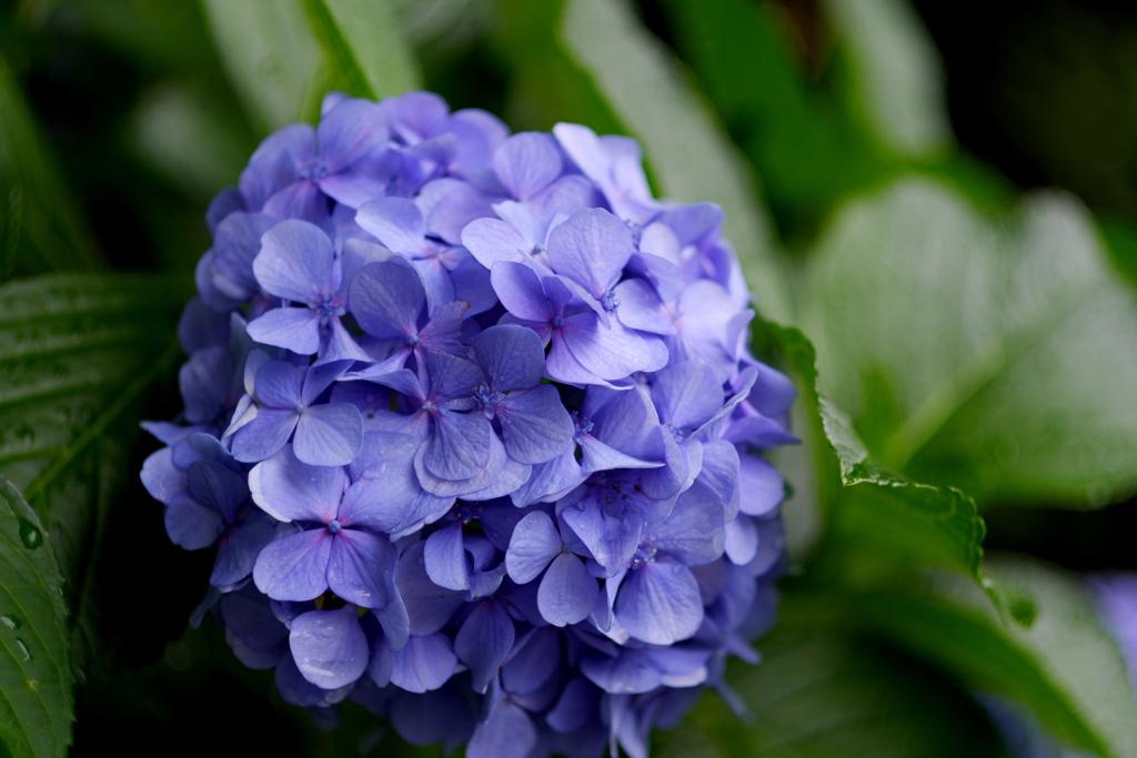 ぱきっと紫陽花