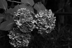 モノクロ紫陽花