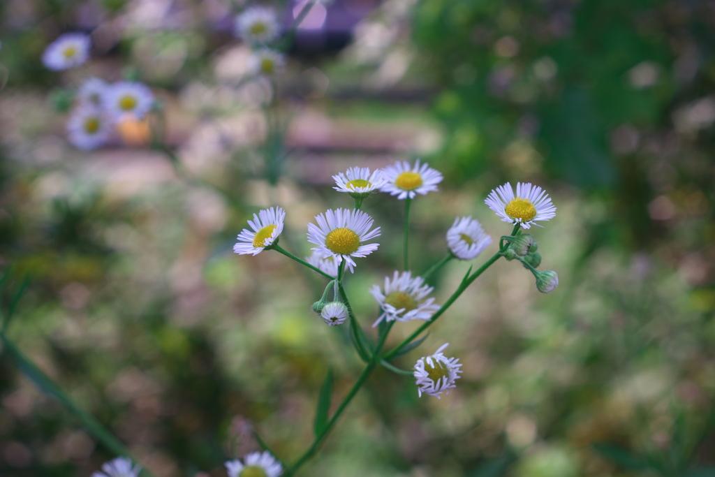 揺れる白い花
