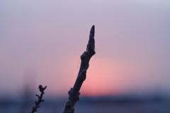 新芽と夕暮れ