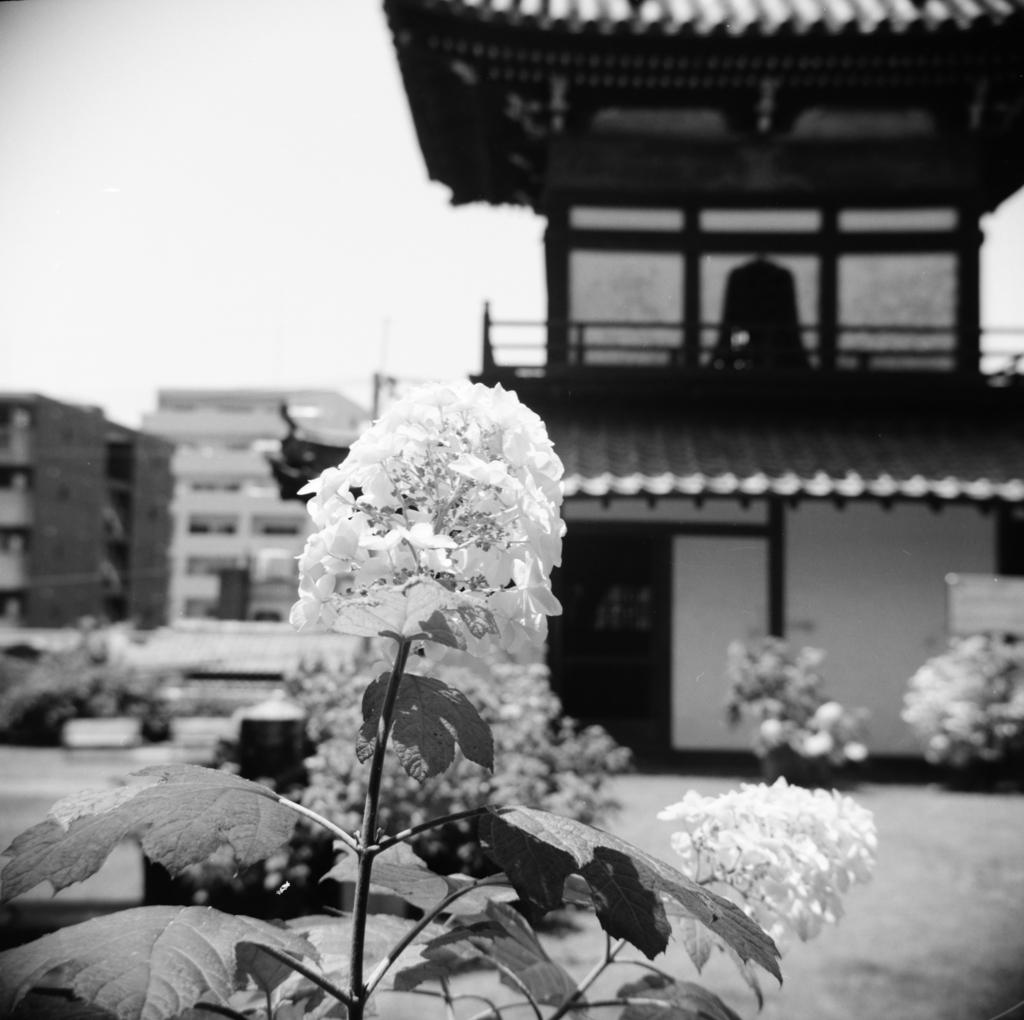 黄檗宗東明山興福寺 鐘楼とカシワバアジサイ