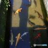 島原 用水路の鯉