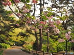 お福分けの桜