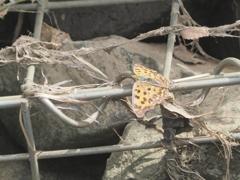 小出川の蝶