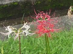 横浜西方寺の彼岸花