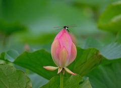 蓮の花とコシアキトンボ