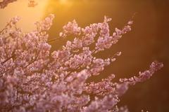 朝焼けの雪割れ桜