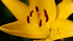 黄色い百合Ⅰ