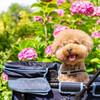 愛犬と紫陽花