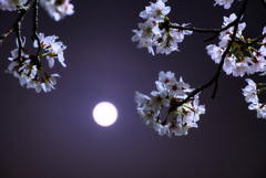 Full moon & Cherry blossoms