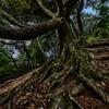 魔女の木(根)