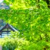 永観堂の青モミジ