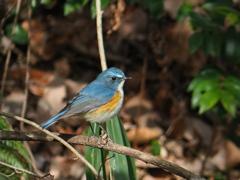 久々の暖かさに青い鳥