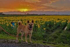 夕景散歩犬