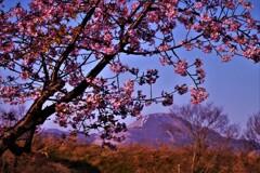 湖国春呼ぶ河津桜