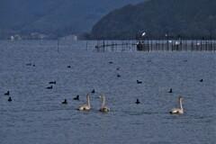 琵琶湖に冬の使者コハクチョウ 4-3