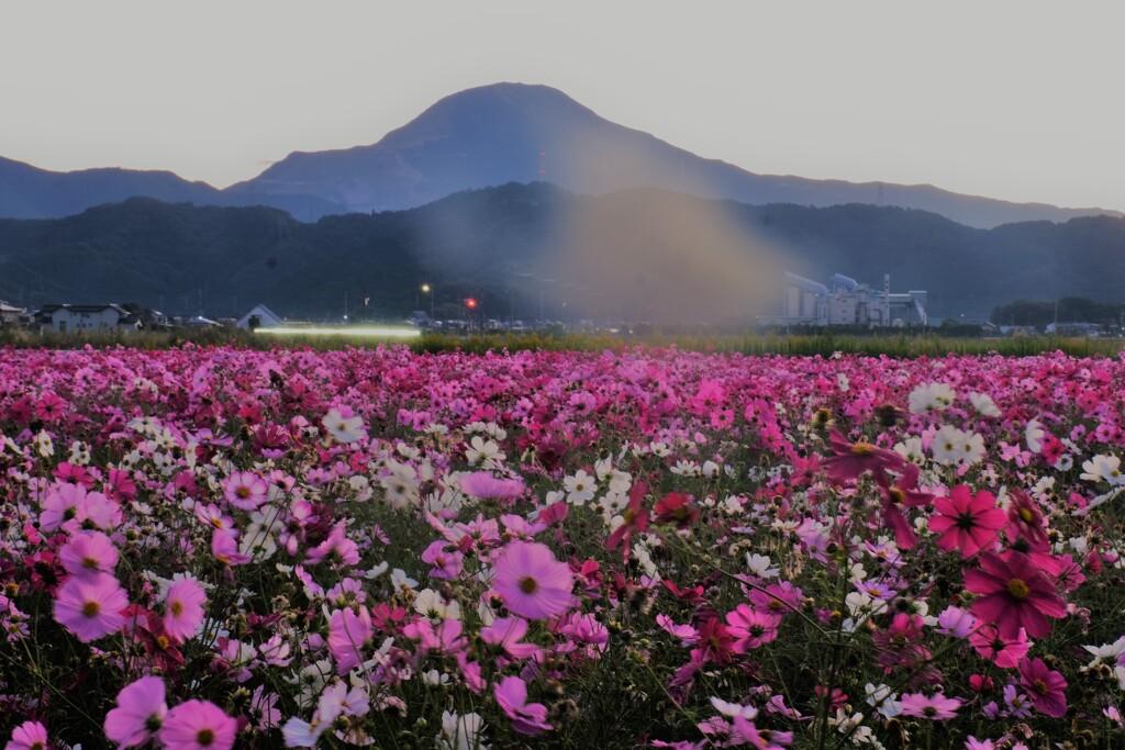 コスモス畑の朝景 3