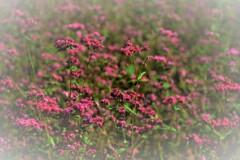 赤そばの花 5-2