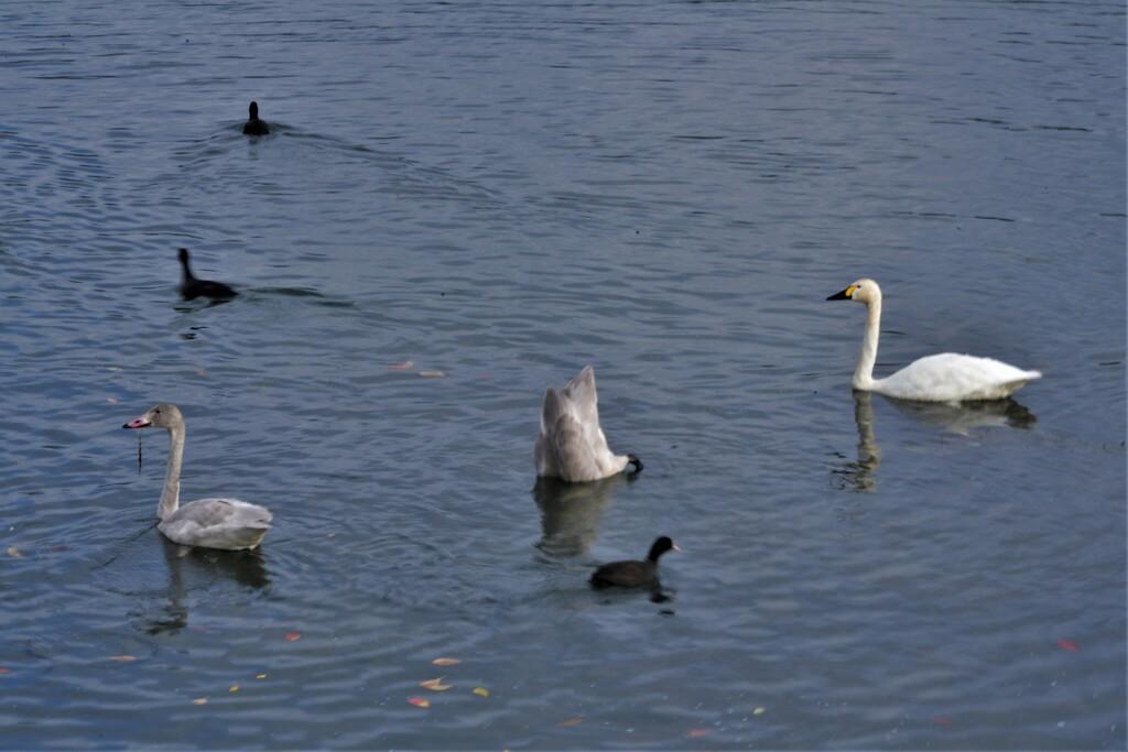 琵琶湖に冬の使者コハクチョウ 4-1