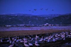 春雪田のコハクチョウ 8