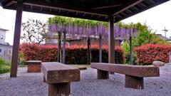 在士紫藤樹 3
