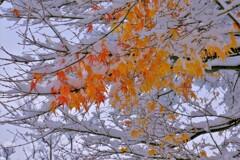 雪紅葉 2