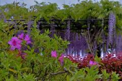 在士紫藤樹 4