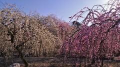 春薫いなべ梅林 7