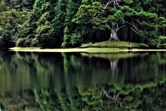 岩尾池一本杉 5