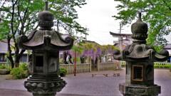 在士八幡神社紫藤樹 5