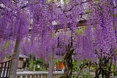在士八幡神社紫藤樹 2