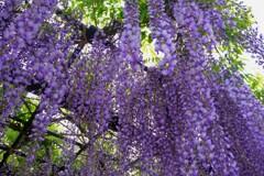 在士紫藤樹 1