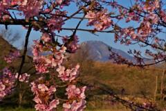 春便り・桜