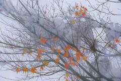 雪紅葉 7